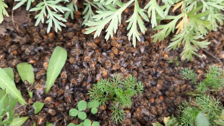 В Башкирии от распыления химикатов погибло почти 2 миллиона пчел