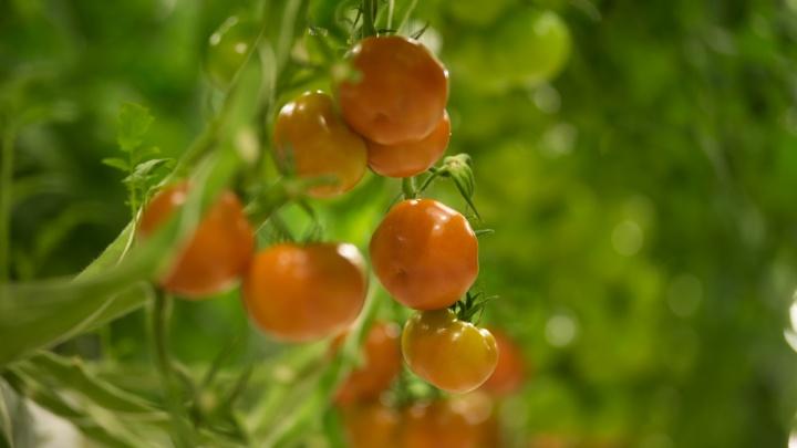 Не рвите их зелеными: что сделать, чтобы помидоры быстрее покраснели и были вкусными