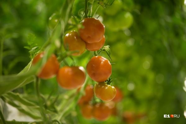 Вот в таком цвете пора собирать помидоры для дозревания. А для улучшения вкуса агроном советует положить в коробку к ним яблоко или банан