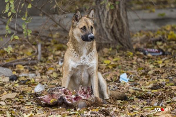Наканунев Волгограде нашли части растерзанного собаками мужчины