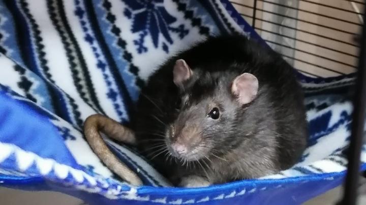 В Красноярске крыса Рататуй стал донором для другого грызуна и спас ему жизнь