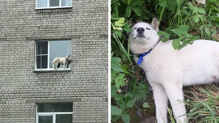 В Архангельске собака выбралась на карниз и упала, сломав позвоночник. В деле разбирается полиция
