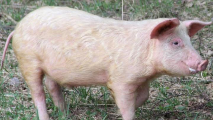«Приезжают комиссия и полиция»: в Ярославской области у фермеров изымают свиней на убой из-за чумы