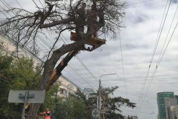 В мэрии заявили, что вырубка была выполнена «на основании акта обследования зеленых насаждений для совершения безотлагательных аварийных работ»