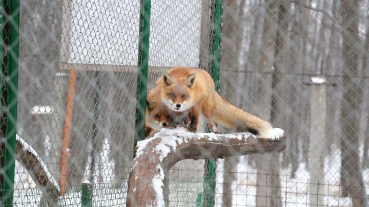 В башкирской деревне лиса напала на мужчину
