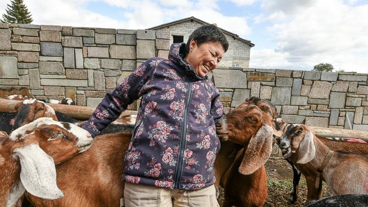 Огромному стаду элитных коз на Урале грозит голодная смерть