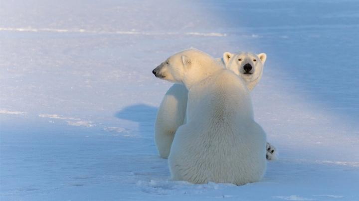 Архангелогородец снял милую пару белых медведей. Снимок — в финале конкурса «Самая красивая страна»