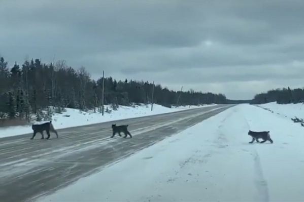 Рысята переходят дорогу вслед за мамой