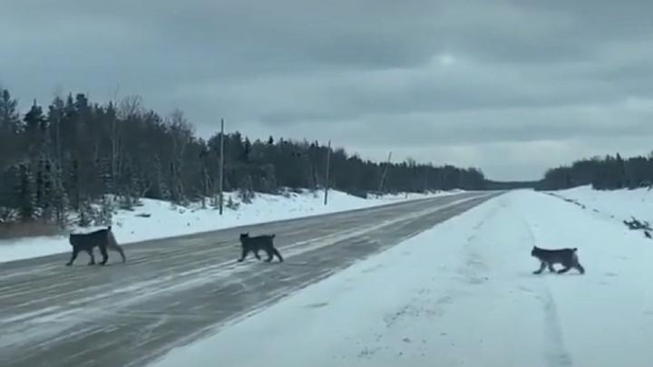 TikTok-блогер из Пермского края снял на видео, как мама-рысь переводит котят через дорогу