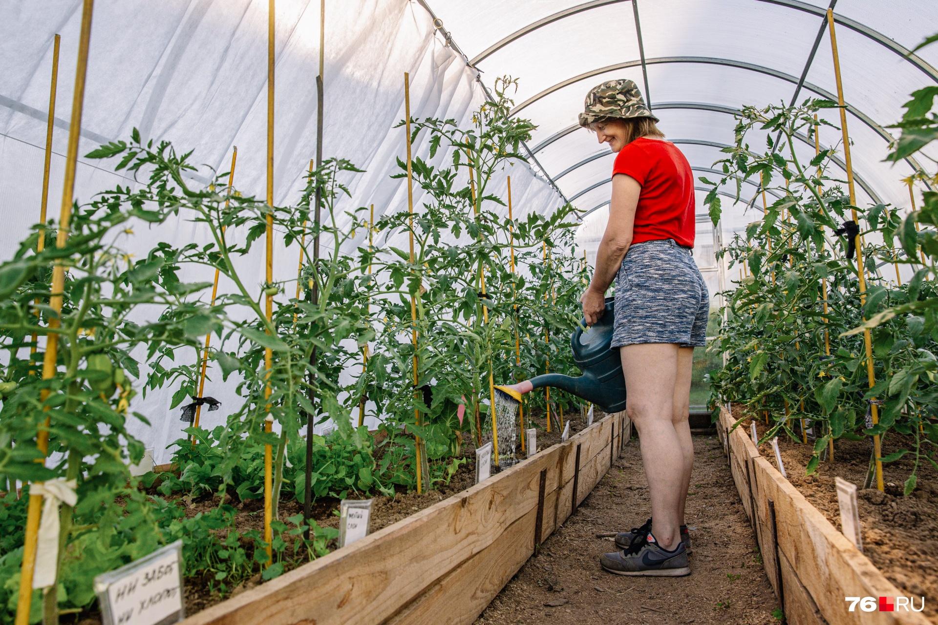 У пышных листьев томатов нет ничего общего с хорошим урожаем. Скорее наоборот