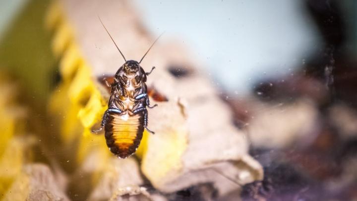 Федеральный Роспотребнадзор предупредил о нашествии тараканов. Советы от пермского дезинсектора по защите дома