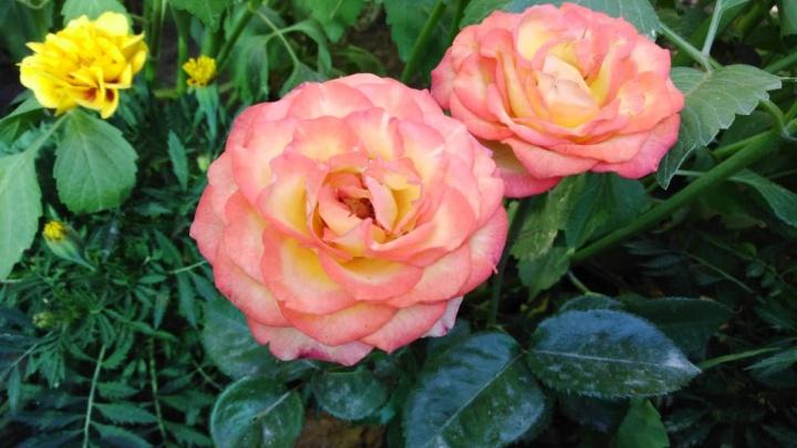 Осень близко: семь простых советов, как подготовить розы к холодам