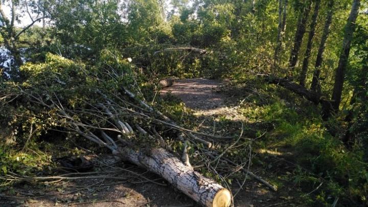 Сервис учета деревьев заработал в Красноярске — экологи надеются с его помощью сэкономить деньги бюджета