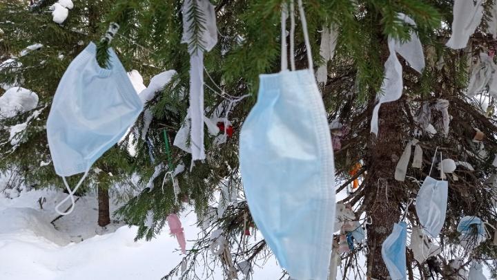Фотограф из Архангельска заметил, что в Пинежском районе «выросло» масочное дерево. Опасно ли оно?