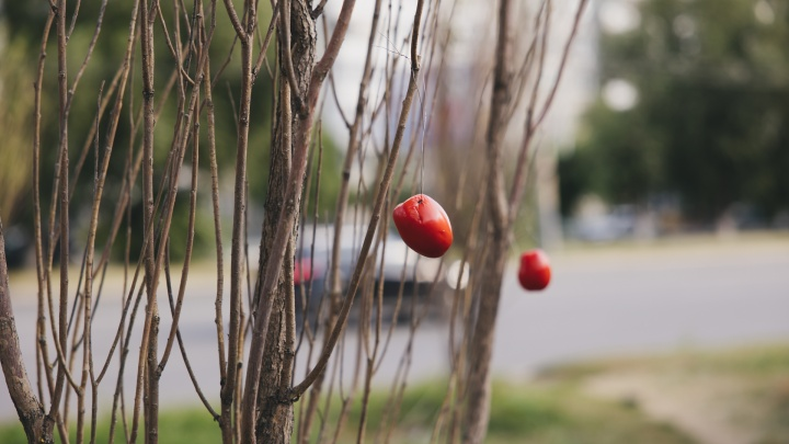 «Сколько денег ухлопали в никуда»: на гостевом маршруте Челябинска высохшие деревья украсили помидорами