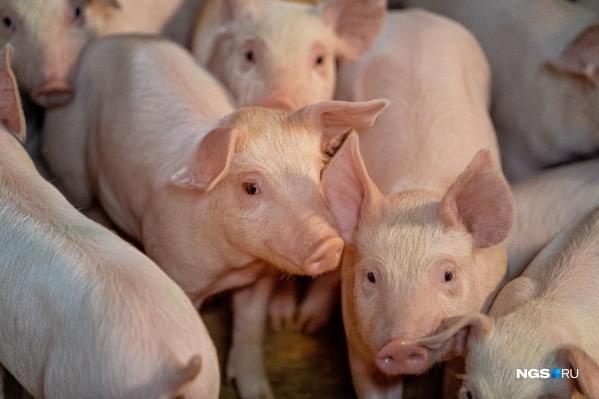 Три свиньи погибли, сейчас пробы изучают в лаборатории