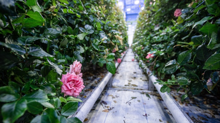 Остров цветов: как выращивают миллионы роз в 40-градусной сибирской зиме и чем они лучше заморских. Репортаж