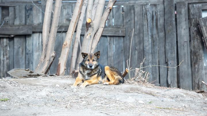 Бездомная стая: куда звонить, если бродячие собаки осмелели