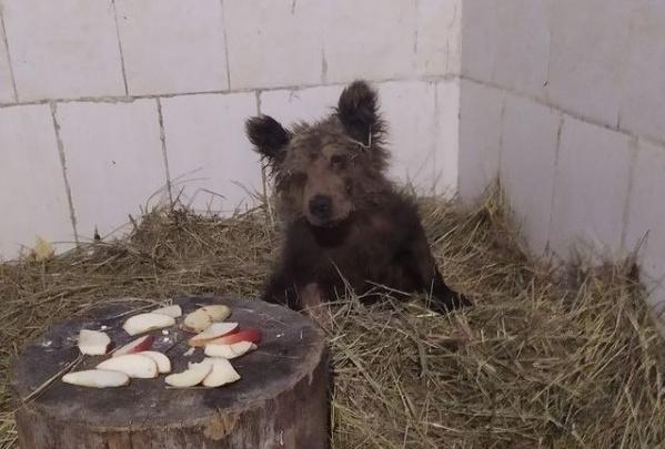 «Много кушает и много спит». Челябинский зоозащитник предложил горожанам выбрать имя для спасенного медвежонка
