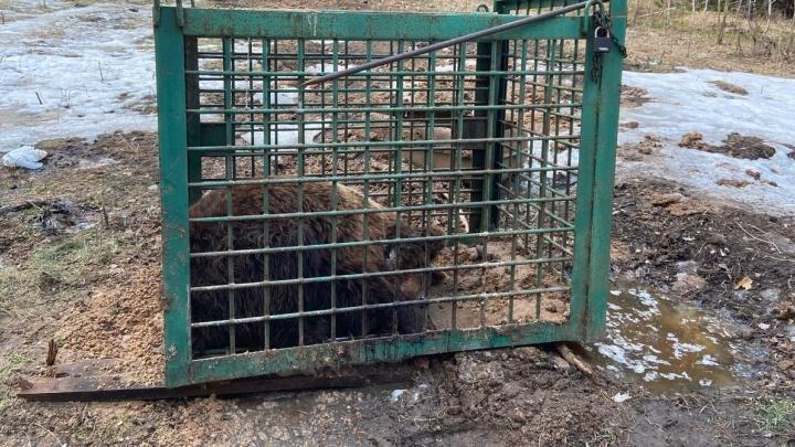 «Весь в рваных гноящихся ранах»: в Уфе ищут медведя, искалеченного на притравочной станции в Челябинской области