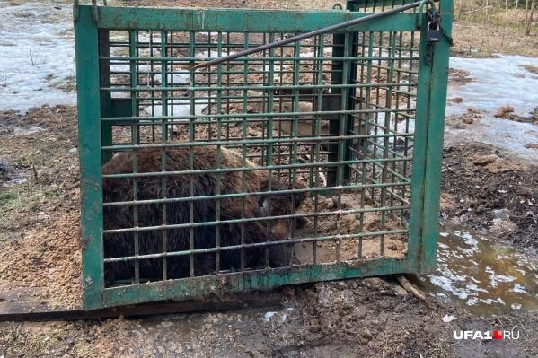 Медведь якобы находится сейчас под Уфой в деревне Базилевке