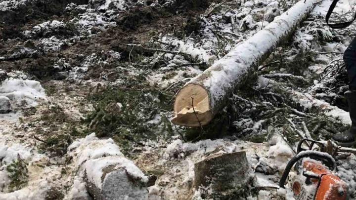 За смерть товарища под деревом вальщика леса оставили на свободе