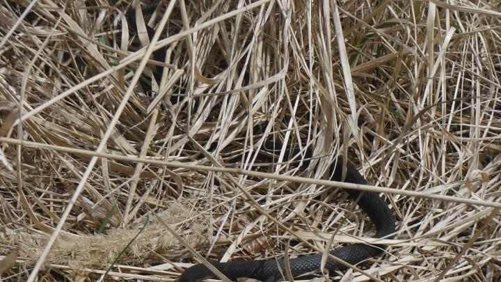 «Можно встретить целые клубки»: в Ярославской области проснулись змеи