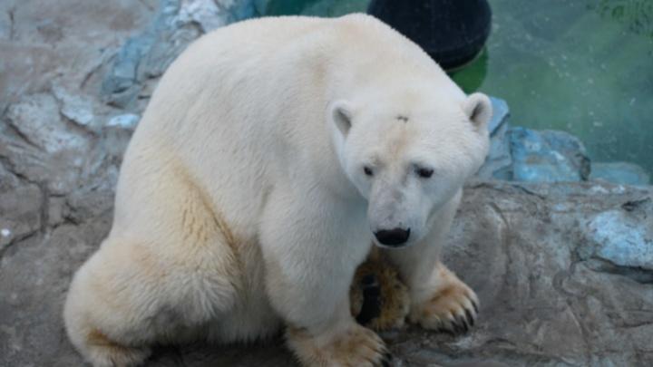 Прокуратура установила настоящую причину смерти белого медведя Умки в зоопарке Екатеринбурга