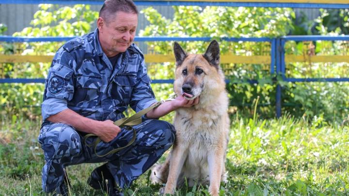 Скрестили волка и немецкую овчарку. Где в России разводят волкособов — животных, охраняющих преступников