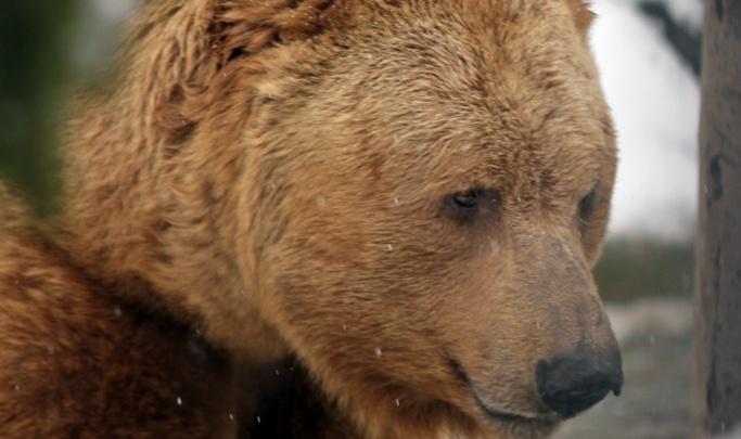 На пути к перевалу Дятлова уральские туристы заметили голодного медведя
