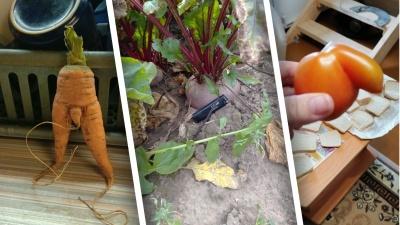 Что выросло, то выросло: тюменцы показали причудливые овощи и фрукты со своих огородов
