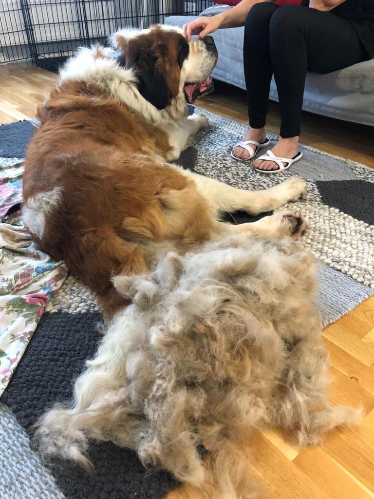 Первое время Олеся вычесывала Бона каждый день, чтобы избавиться от грязи и масла, налипшего на шерсть