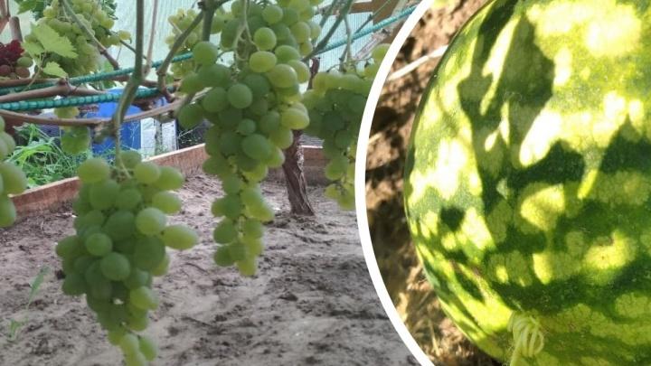 «Слаще покупных»: ярославцы рассказали, как на своих огородах вырастили арбузы, дыни и виноград