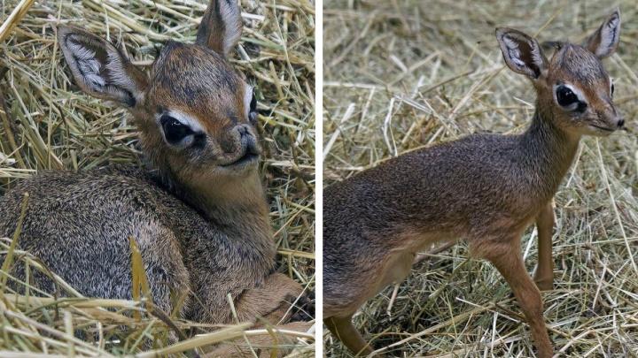 В Новосибирске родились малыши антилопы дикдик— посмотрите на эти милые мордочки