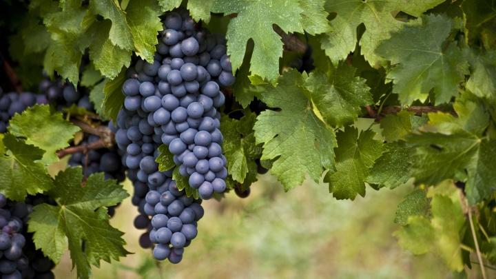 Как в Сибири легко выращивают виноград на вино и для еды (мы узнали секреты шикарных гроздей)