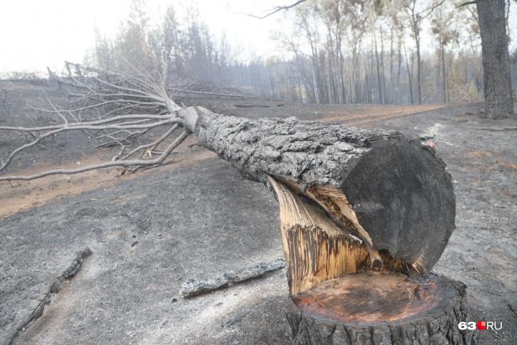 В лесу сгорело много сосен