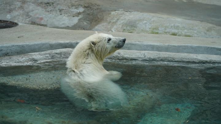 В зоопарк Екатеринбурга привезут белую медведицу. Она займет место умершего Умки