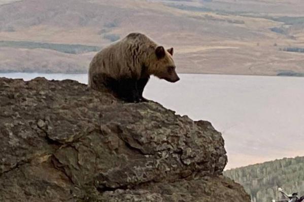 Медвежата бродят вокруг горнолыжного центра второй год. Чем старше они становятся, тем опаснее для человека