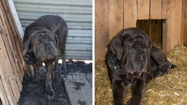 Сибирячка выписала пса из Кургана, но он ей не понравился. Брошенное животное просидело 2 дня на вокзале