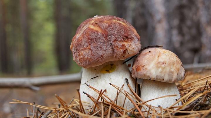 В Югре появились первые белые грибы. Их обнаружили сотрудники природного парка «Кондинские озера»