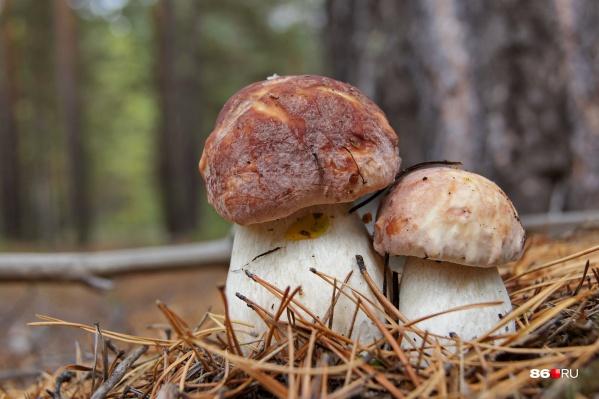 В югорских лесах появились первые грибы