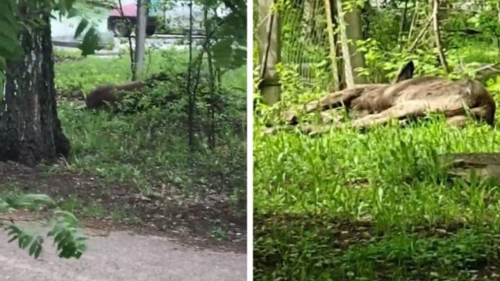 Раненый лось из Академгородка умер на обследовании