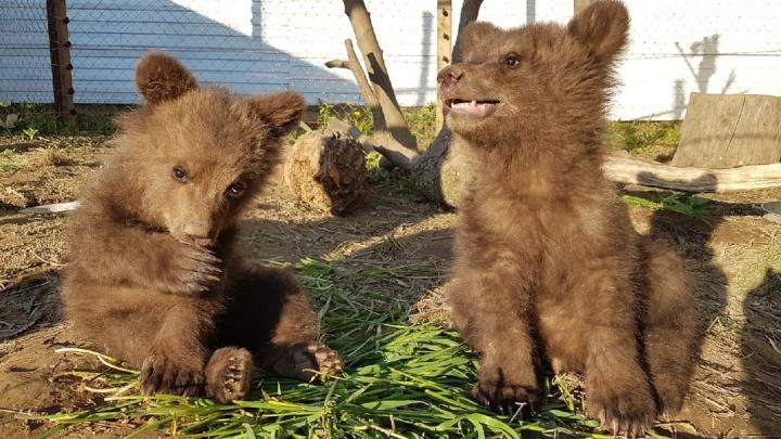 Прикамский фонд защиты дикой природы потребовал проверить сотрудника Росприроднадзора, который изъял у них больного медвежонка
