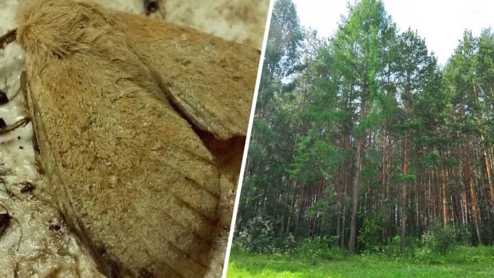 В Свердловской области ученые обнаружили бабочек-паразитов, которые угрожают уничтожить леса на Урале