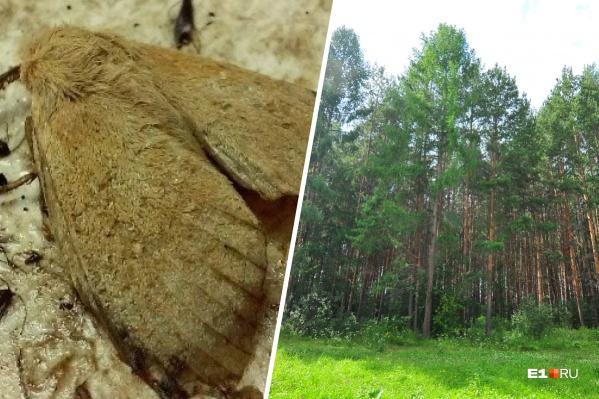 Сибирский шелкопряд угрожает хвойным лесам в Свердловской области