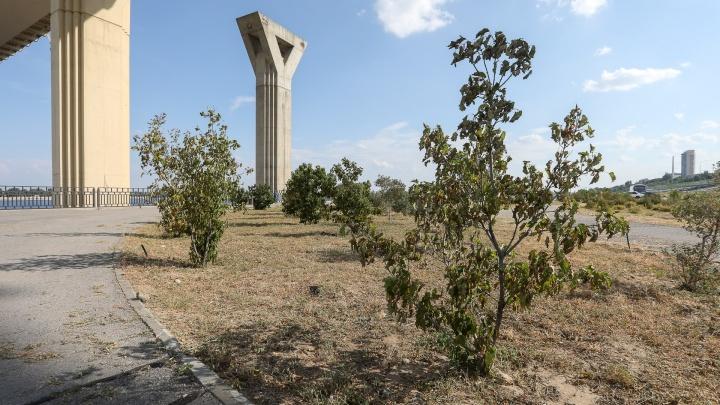 «Выглядит как для показухи, а не для людей»: в Волгограде вновь засохли деревья и кусты на новом участке набережной