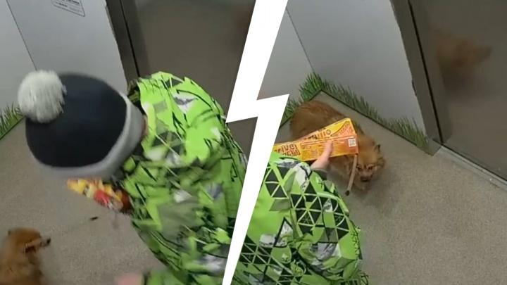 Родителей тюменского подростка, пинавшего собаку в лифте, привлекут к ответственности