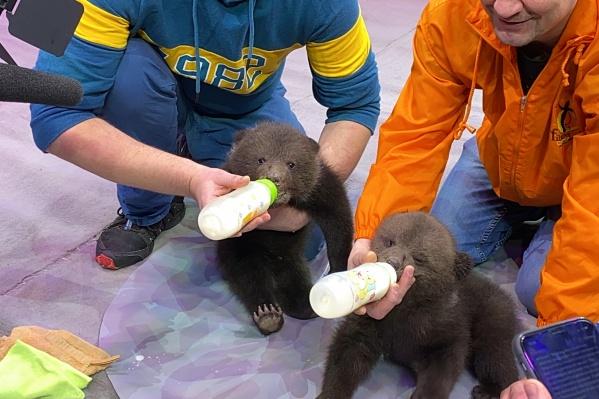 Медвежата родились в екатеринбургском цирке