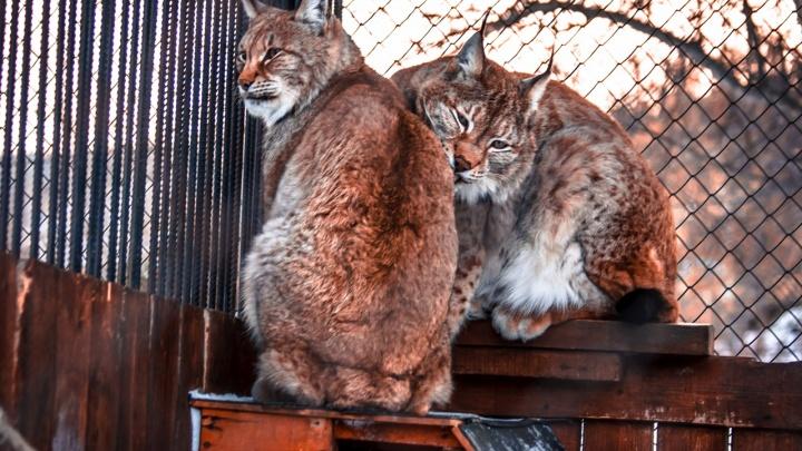 «Отдают друг другу лучшие кусочки»: в День всех влюбленных рассказываем о самой крепкой паре зоопарка