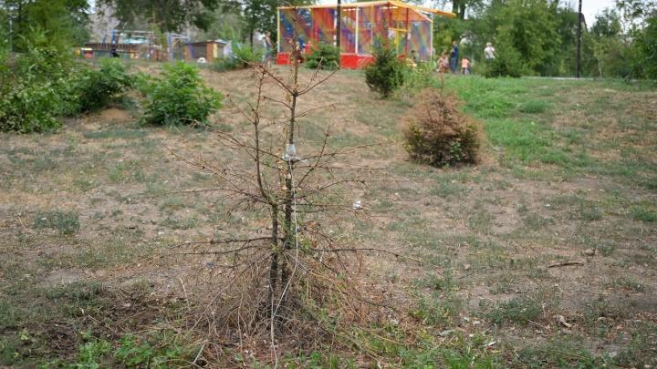 Грибок и златка: деревья в Парке Гагарина в Волгограде уничтожили паразиты
